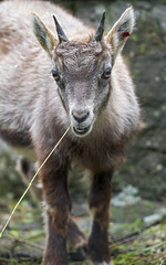 Baby ibex with twig in the mouth