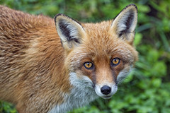 Pretty red fox looking at me
