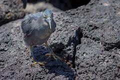 Lava Heron, Galapagos Islands