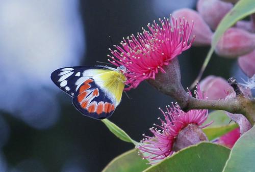 Red Jezebel Butterfly 006