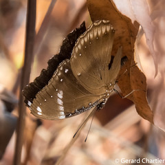 Great Eggfly (Hypolimnas bolina) male