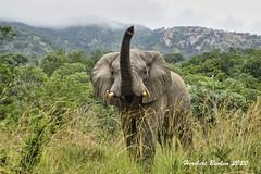 DSC05031 L4  Bongani 2017 Elefantenbulle
