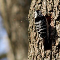 Wood work - Lesser spotted woodpecker, Dryobates minor, Mindre hackspett