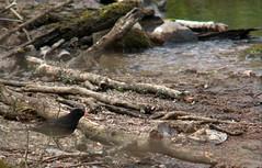 Eurasian blackbird, Turdus merula, Koltrast