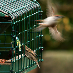 Eurasian tree sparrow, Passer montanus, Pilfink