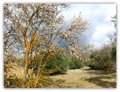 Almendro, olivos, campo