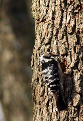 Lesser spotted woodpecker, Dryobates minor, Mindre hackspett