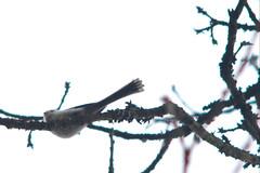 Long-tailed tit, Aegithalos caudatus, Stjärtmes