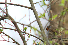 European robin, Erithacus rubecula, rödhake