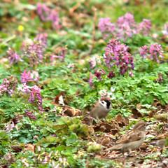 Tree sparrow and female house sparrow