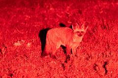 Bat Eared Fox at Night