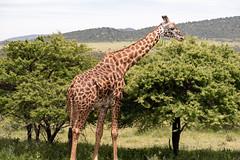 Giraffe Eating From Acacia