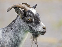 Profile of a gray goat