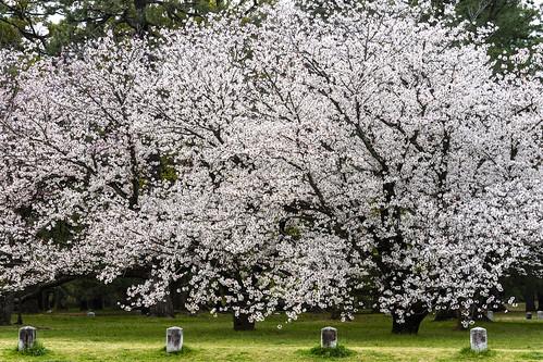 Sakura,Kyotogyoen,Kyoto