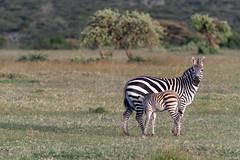 Zebra Calf Nursing