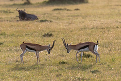 Two Thomsons Gazelle Facing Off
