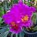 Sai Nam Phung Orchid