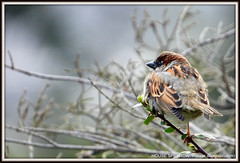 House Sparrow: Passer domesticus