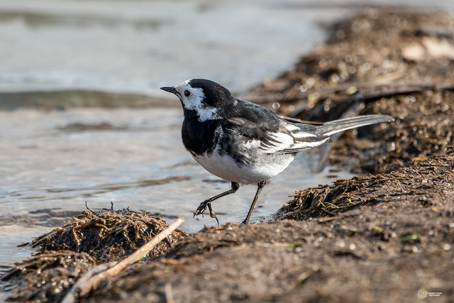 Pied Wagtail taking a dip.