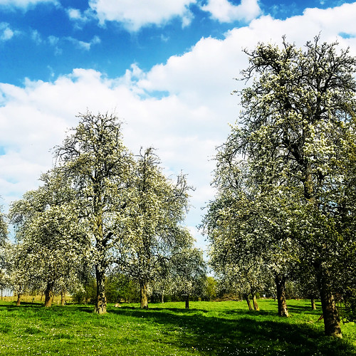 Orchard with old pear trees
