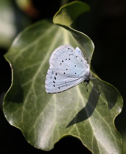 """Celastrina argiolus"" - boomblauwtje , explored!"
