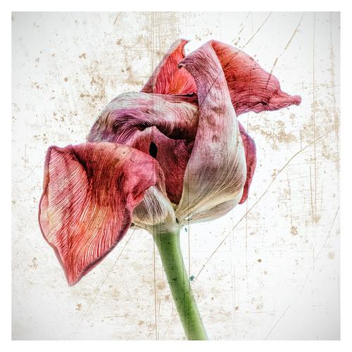 Transience of my tulip....