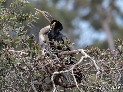 Australian Darter (male and female)