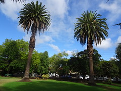 Adelaide. In the gardens of Burnside Hospital. Two Canary Island date palms. Phoenix canariensis.