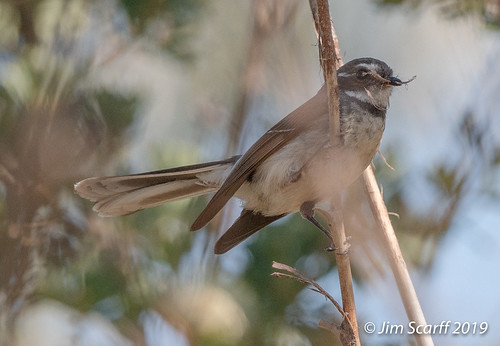 Grey Fantail with nest material