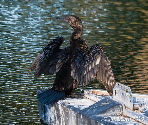 Little Black Cormorant drying its wings