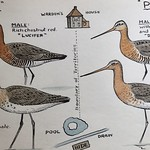 Godwits from @Yarmouthbirder
