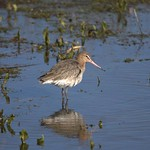 Godwit by Andrew Wallbank (@atwallbank)