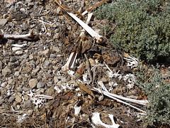 Old Bones and Salt Bush