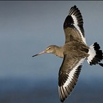 Godwit by Craig (@birdblogger) 5