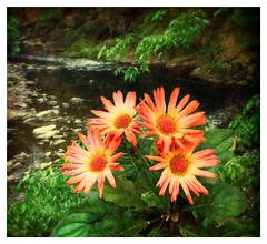 Daisies Along the Wissahickon Creek