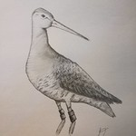 Godwit from @Leanne418Tough