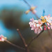 富士櫻 (Prunus incisa)