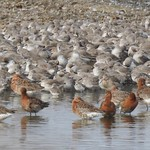 Godwits by Lizzie Bruce (@lizzie_bruce)