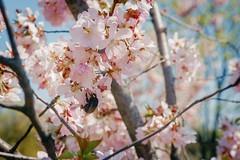 Шмель в сакуре / Bumblebee in sakura