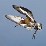 Godwit by Craig (@birdblogger) 3