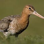 Godwit by Craig (@birdblogger) 2