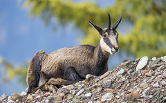 Cute young chamois on the rock