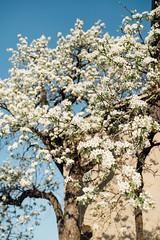 Flowering tree in spring.
