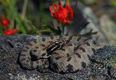 Western Pygmy Rattlesnake (Sistrurus miliarius streckeri)