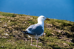 Seagulls, Great Orme, Wales