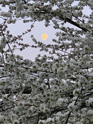 The moon among the cherry blossoms at sunrise in St James's Park