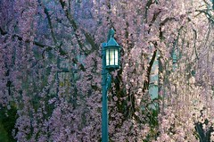 Street Light And Weeping Cherry