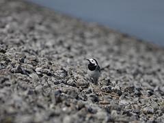 Witte Kwikstaart - Motacilla alba
