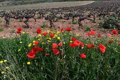 Vinya i roselles, el Terme, Torrelles de Foix.