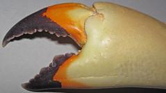Menippe mercenaria (Florida stone crab claw) (Sanibel Island, Florida, USA) 3